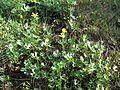 Ranunculus undosus habit2 NWP - Flickr - Macleay Grass Man.jpg