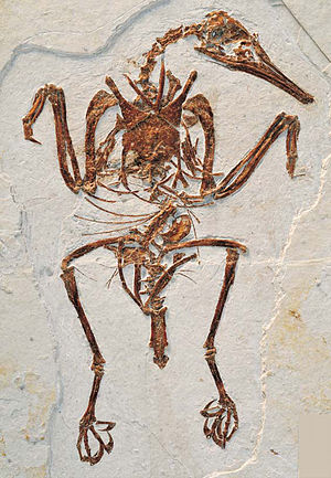 Enantiornithes - Fossil skeleton of Rapaxavis pani with a preserved pygostyle