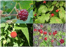 Raspberries, fruit of four species.jpg