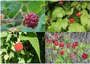 Raspberry - Fruit of four species of raspberry. Clockwise from top left: Boulder raspberry, Korean raspberry, Australian native raspberry, Mauritius raspberry
