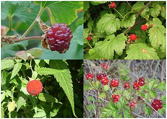 Raspberry - Fruit of four species of raspberry. Clockwise from top left: Boulder raspberry, Korean raspberry, Australian native raspberry, Mauritius raspberry