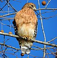 Red-Shouldered Hawk. 12-18-13.8.jpg