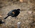 Red-Winged Blackbird (6692994907).jpg