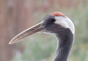 Crown (anatomy) - A red-crowned crane