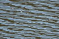 Red-necked Phalarope Rodeo Lagoon Marin CA 2018-09-20 11-44-43 (45644767582).jpg