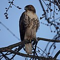 Red-tailed Hawk (5357401621).jpg