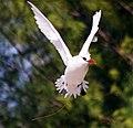 Red-tailed Tropicbird3.jpg