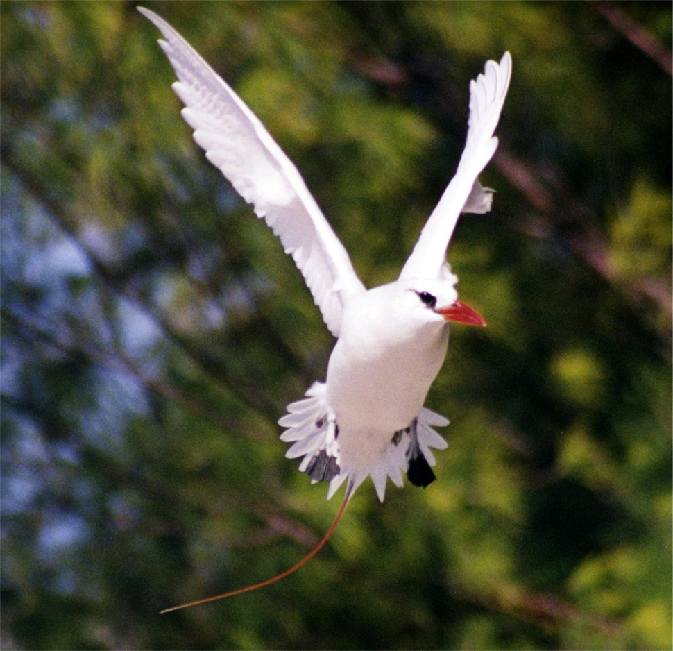 Red-tailed Tropicbird3