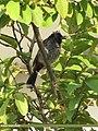 Red-vented Bulbul (Pycnonotus cafer) (15887497082).jpg