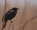 Red-winged Blackbird (32766754773).jpg