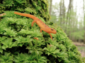 Red Eft on Moss Mountain (5720037862).png