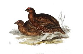 Description de l'image Red Grouse.jpg.
