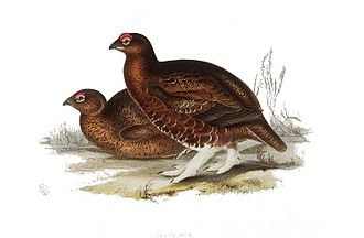 Willow ptarmigan - Red grouse, L. l. scoticus, plumage shows less white than other subspecies