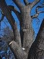 Red Oak (39829368321).jpg