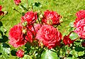 Red Rose flowers 09.jpg