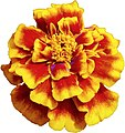 Red yellow flower 2.jpg