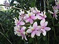 Reed Orchid Princess Valley Innocence.jpg