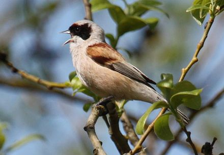 A singing Eurasian penduline tit Remiz pendulinus -Estonia -singing by partly built nest-8 cropped.jpg