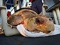 Rescuing a Loggerhead sea turtle - 170612-G-SQ620-051.jpg