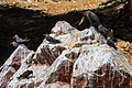 Reserva National Isla Ballestas…5 Inca Terns & a Neotropic Cormorant (8444369458).jpg