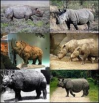 Rhinocerotidae-01.jpg