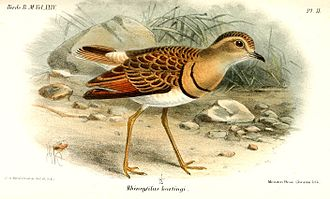 Double-banded courser - S. a. hartingi