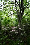 Rhododendren and tree - West Virginia - ForestWander.jpg