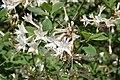 Rhododendron atlanticum 8zz.jpg