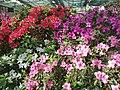 Rhododendron cv. Kiev Grishko 04.jpg