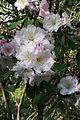 Rhododendron fortunei 3.JPG