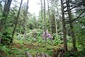 Rhododendrons in the woods by the track to Muncaster Head - geograph.org.uk - 1336288.jpg