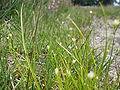 Rhynchospora alba - Drents-Friese Wold.jpg