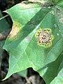 Rhytisma acerinum 151588503.jpg