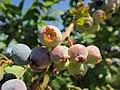 Ripening blueberries (9423969183).jpg