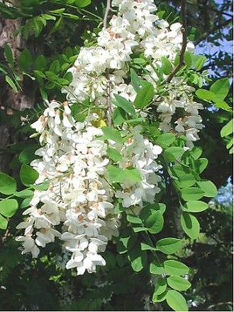 Robinia pseudoacacia - Flowers