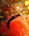 Roboastra gracilis.jpg