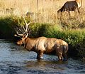 Rocky Mountain National Park in September 2011 - male Elk crossing a stream in Moraine Park.JPG