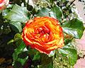 Rosa 'Tequila Sunrise' 2.jpg