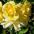 "Rosa ""Gold Bunny"", ""Gold Badge"" o MEIgronuri. 04.jpg"