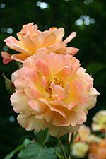 Rosa Westerland - Giverny02.jpg