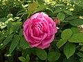 Rosa centifolia Muscosa 2020-06-23 0682.jpg