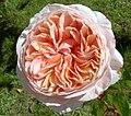 Rosa matizada (227638531).jpg