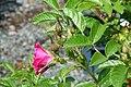 Rosa rugosa F. J. Grootendorst 6zz.jpg