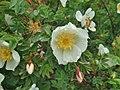 Rosa spinosissima inflorescence (40).jpg