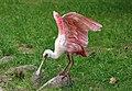 Rosalöffler im Weltvogelpark Walsrode 2H1A8805WI.jpg