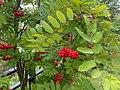Rosales - Sorbus aucuparia - 6.jpg