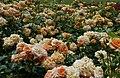 Rosarium Baden Rosa 'Bentheimer Gold' Kordes 2015 01.jpg