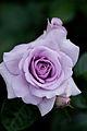 Rose, Blue Bijou.jpg