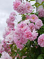 Rose, Tea Rambler, バラ, ティ ランブラー, (15712572737).jpg