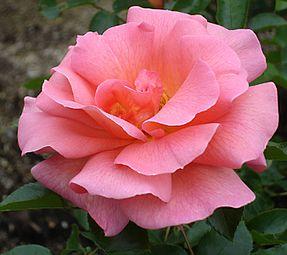 Rose Zambra '93 バラ ザンブラ 93 (4976994042).jpg